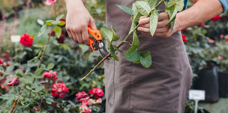 cutting garden rose