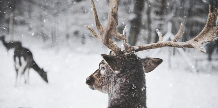deer in the snow