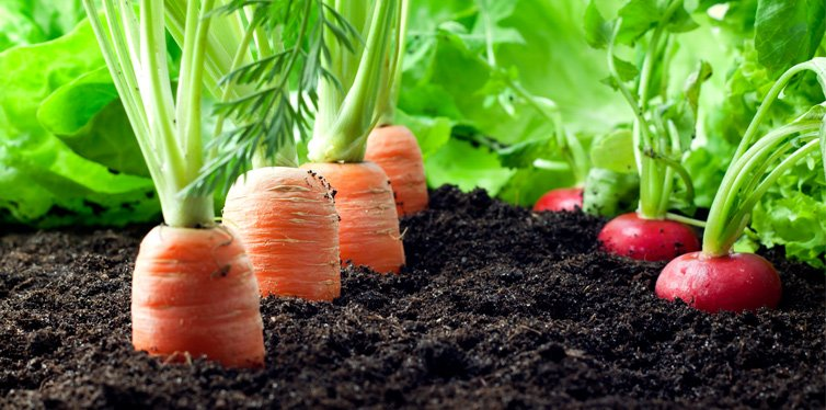 vegetable in the garden
