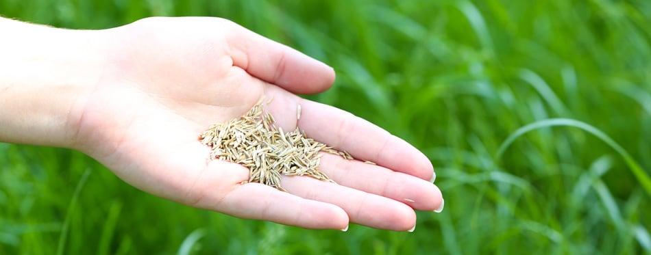 woman holding grass seeds
