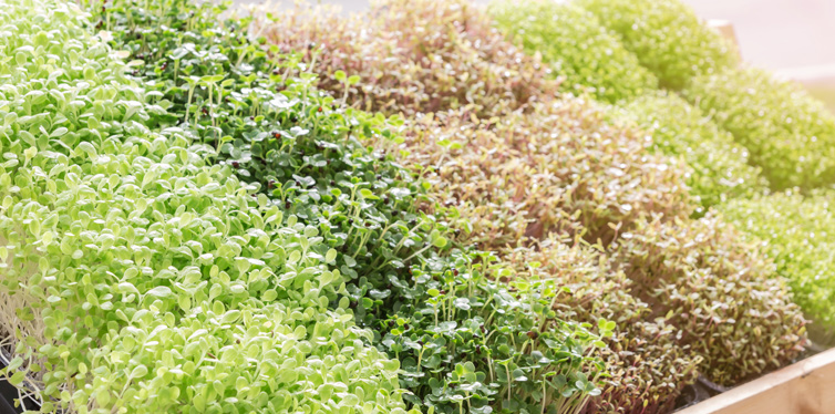 growing micro greens at home